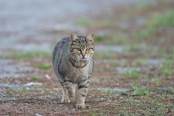 00021-domača_mačka