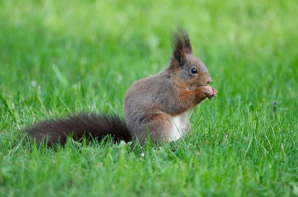 00057-veverica