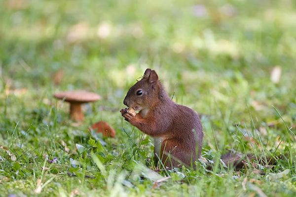 00058-veverica