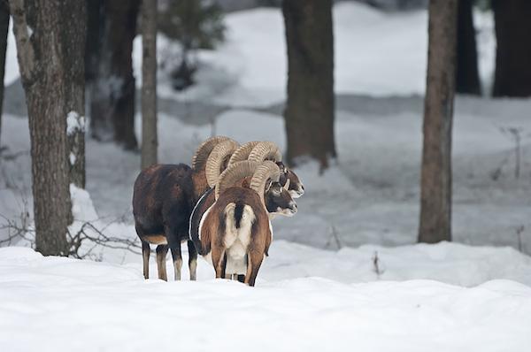 00065-mufloni