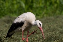 00177-White_Stork