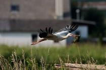 00178-White_Stork