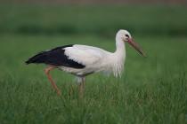 00180-White_Stork