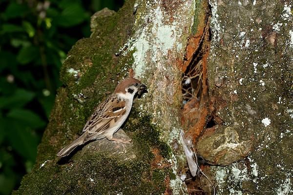 poljski vrabec-Passer montanus, StraûiöËe, Kriûnarjevi
