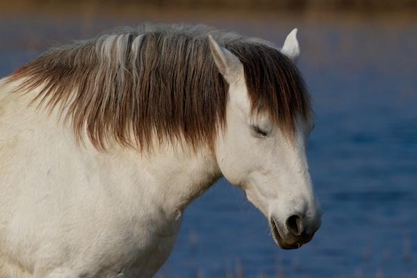 00337-kamarska_kobila