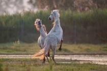 00400-Camargue_Horses