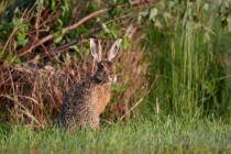 00408-Brown_Hare