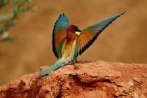 00413-European_Bee-eater