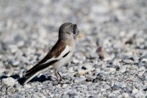 00414-White-winged_Snowfinch