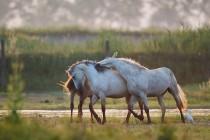00416-Camargue_Horses