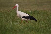 00425-White_Stork