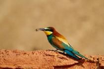 00428-European_Bee-eater