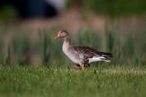 00430-Greylag_Goose