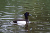 00433-Tufted_Duck