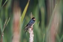 00436-Barn_Swallow