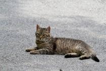 00437-Domestic_Cat