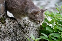 00438-Domestic_Cat