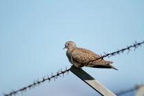 00445-European_Turtle_Dove