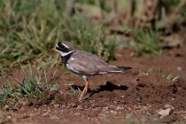 00446-Common_Ringed_Plover