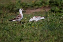 00447-Black-headed_Gulls
