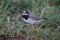 00448-Common_Ringed_Plover