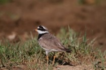 00449-Common_Ringed_Plover