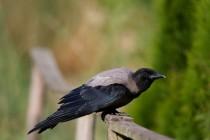 00450-Hooded_Crow