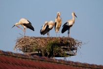 00452-White_Storks