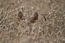 00459-Roe_Deer