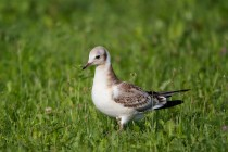 00461-Black-headed_Gull