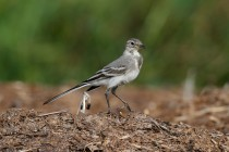 00473-White_Wagtail