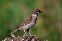 00476-Eurasian_Tree_Sparrow
