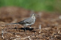 00477-White_Wagtail