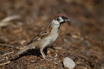 00478-Eurasian_Tree_Sparrow