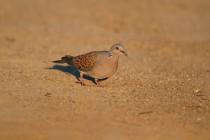 00482-European_Turtle_Dove