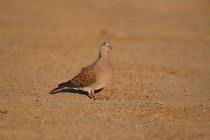 00484-European_Turtle_Dove