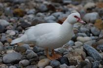 00306-Muscovy_Duck