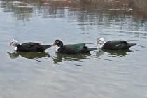 00307-Muscovy_Ducks