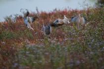 00489-Eurasian_Collared_Doves