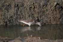 00492-Common_Greenshank