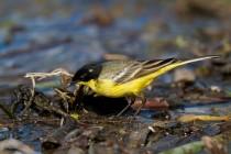 00498-Yellow_Wagtail