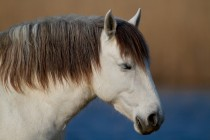 00500-Camargue_Horse