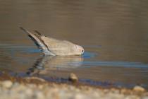 00506-Eurasian_Collared_Dove