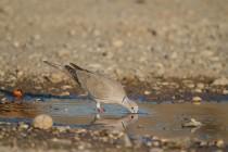 00507-Eurasian_Collared_Dove