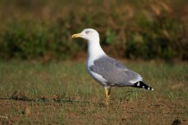 00509-Yellow-legged_Gull