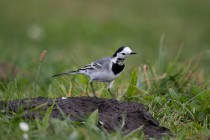 00512-White_Wagtail