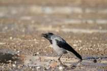 00513-Hooded_Crow