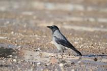 00514-Hooded_Crow