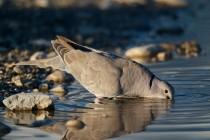 00515-Eurasian_Collared_Dove