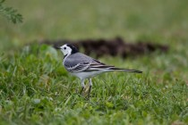 00517-White_Wagtail